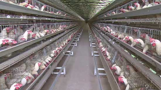 poultry farming for egg is called layer farming