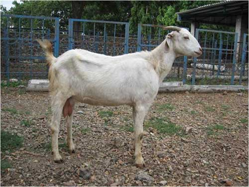 sangamneri local breed of maharashtra