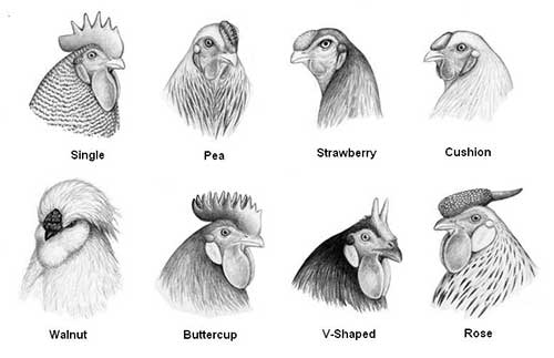 type of comb identify the poultry breeds