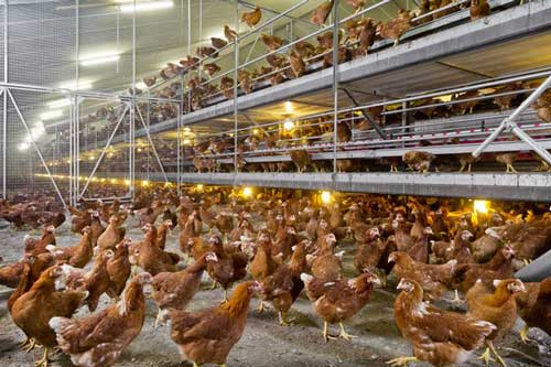 layer poultry isa brown