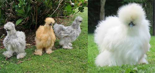 Silkie chicken white