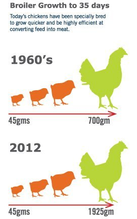 broiler growth from highly nutrition feed design and calculation.