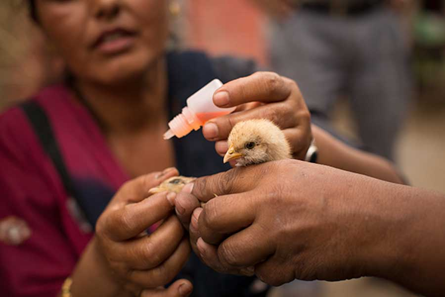 intra ocular poultry vaccination route