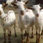 barbari goat breed