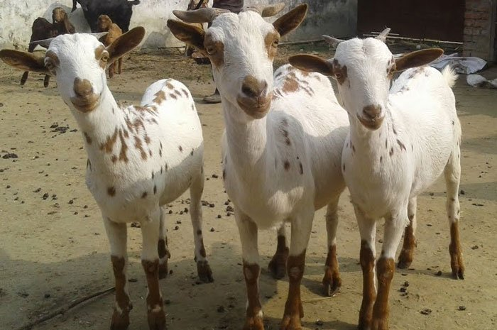 Barbari goat looks preety and adorable. the breed give quick returns.