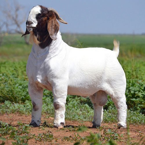 Boer Goat best suited for meat purpose