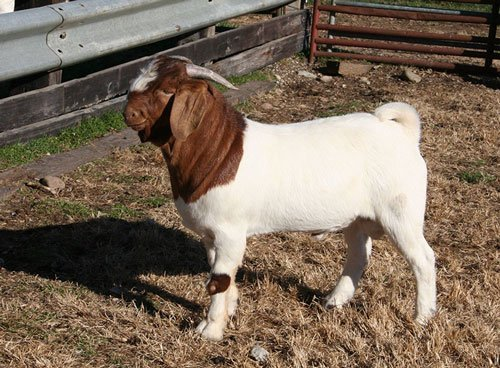 Boer goat used mainly for cross breeding