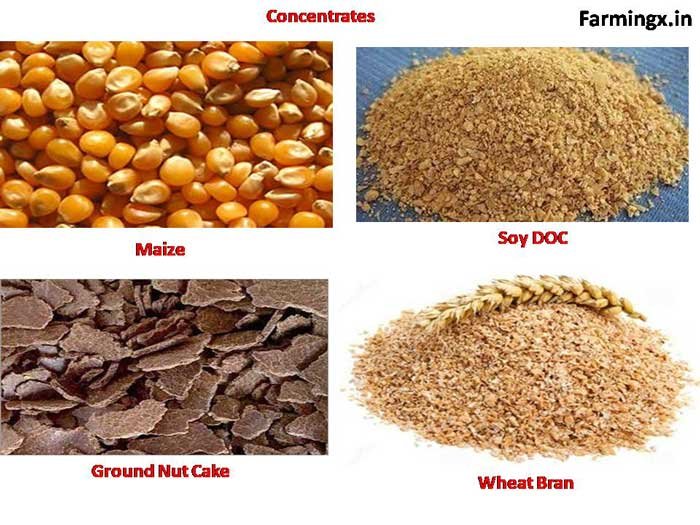 concentrate is much needed for commercial Dairy farming. concentrate is full of  protein, carbohydrates, energy, minerals and vitamins. it helps in the growth of the animals.