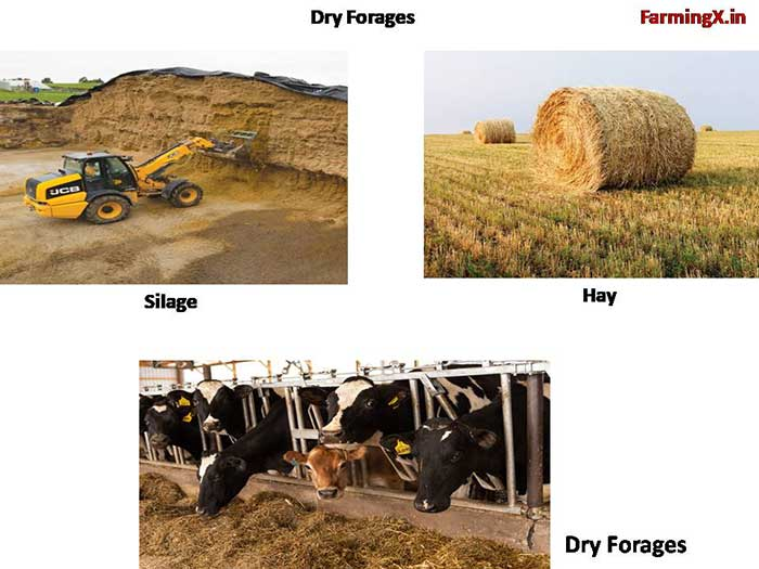 give enough Dry forages to the cattles. dry forges like Hay, Silage good for the animals. it makes them healthy and disease free.