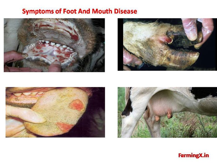 here are the common symptoms of Foot and mouth disease. Foot and mouth disease is Highly transmissible Viral Disease it spread through direct contact or through contaminated feed, water or air