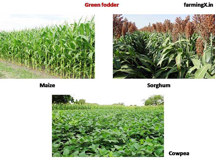 Green fodder  is quite helpful for the rumination of the animal. and it is digestible give the energy to the animal.