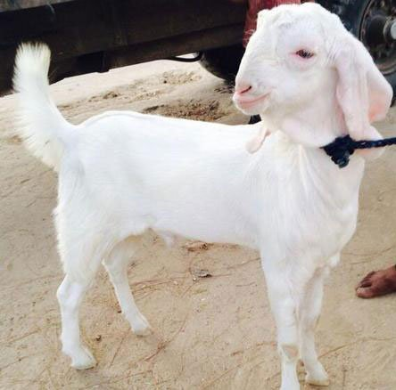 Beautiful sojat goat kid