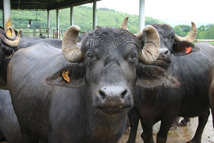 dairy farm Project report of 10 buffalo