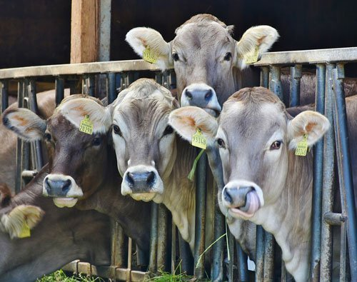 Dairy farming in india for milk production