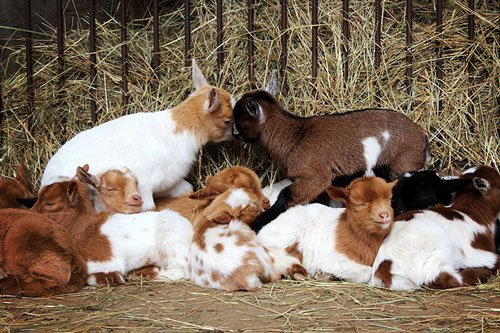 pygmy Goat adoption