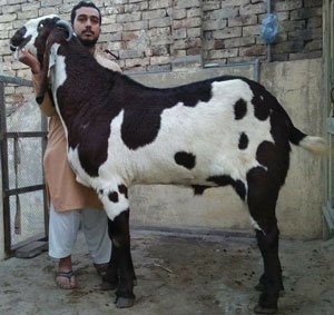 price of beetal goat in india