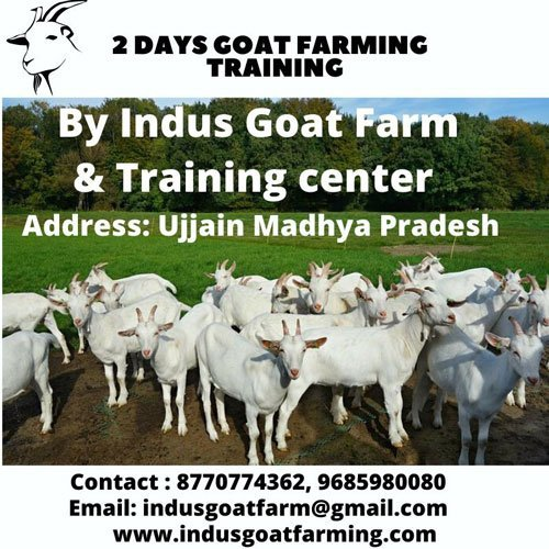 Goat farming training by indus goat farm