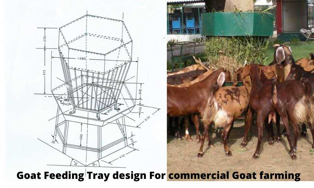 Goat feeding tray design for commercial goat farming