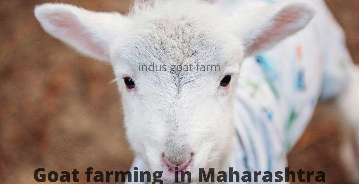goat farming in maharashtra complete guide