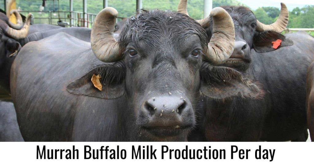 Murrah Buffalo Milk Production Per day: How much money you can make?